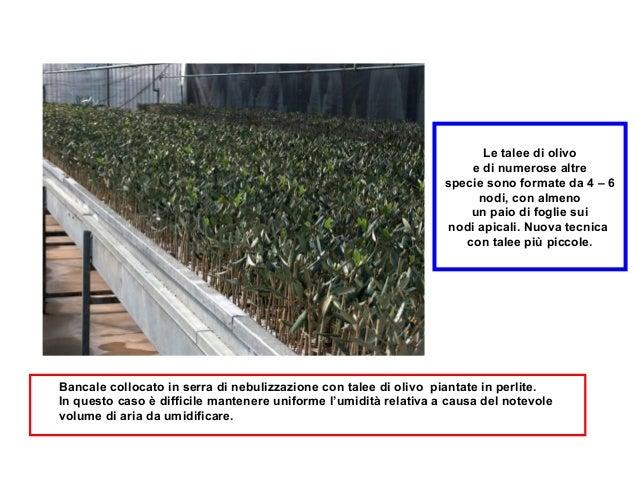 Arboricoltura Morini-Tecniche di propagazione terza parte