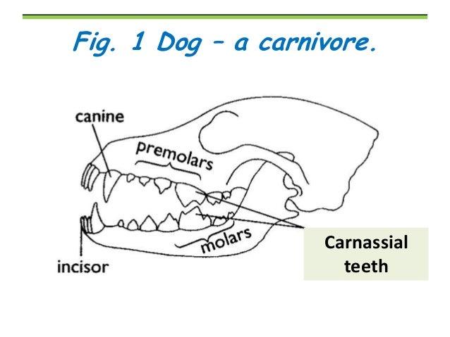 Herbivore Teeth Diagram Herbivore Teeth Diagram