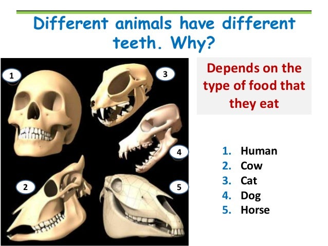 Pics For > Lion Teeth Diagram