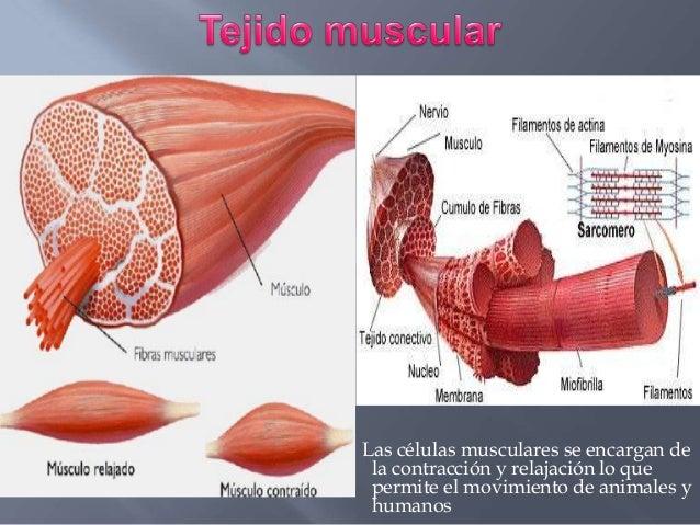 abc anatomía: TEJIDO MUSCULAR