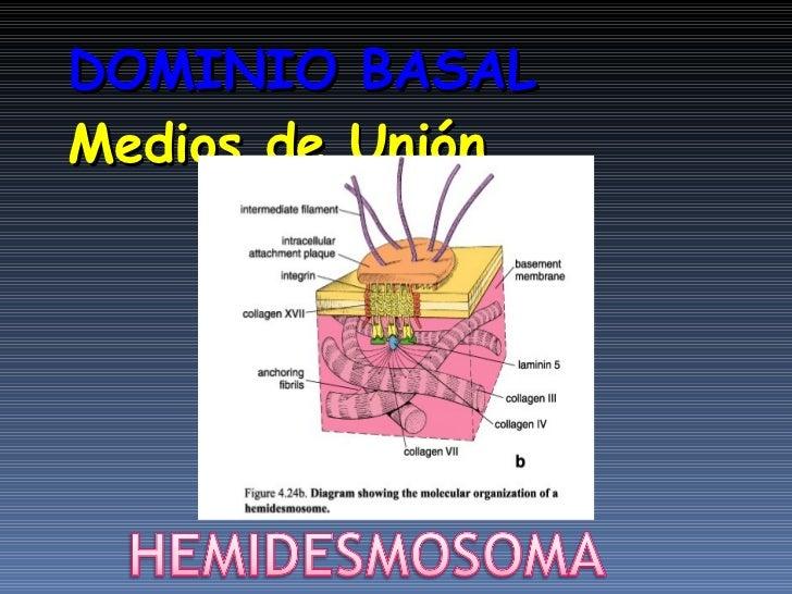 Resultado de imagen para modificaciones basales en tejido epitelial