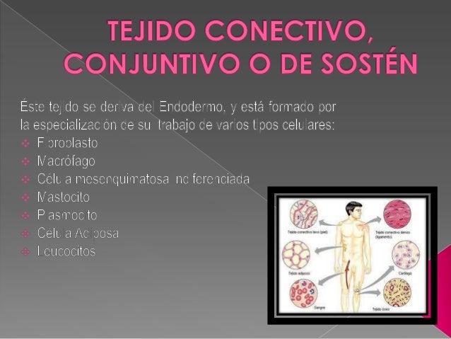 • • •    • •  Proporciona sostén y relleno estructural: huesos, cartílagos, ligamentos y tendones; cápsula y estroma de...