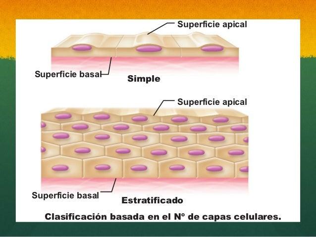 Resultado de imagen para epitelio simple y estratificado