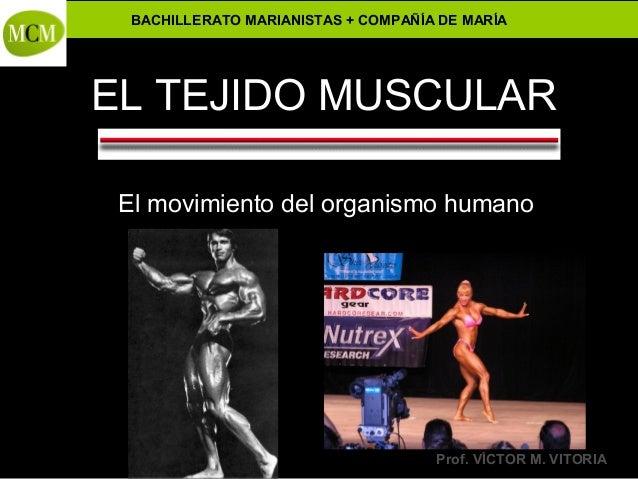 Anatomía y Fisiología Humanas - BACHILLERATO MARIANISTAS + COMPAÑÍA DE MARÍA Prof. VÍCTOR M. VITORIA EL TEJIDO MUSCULAR El...