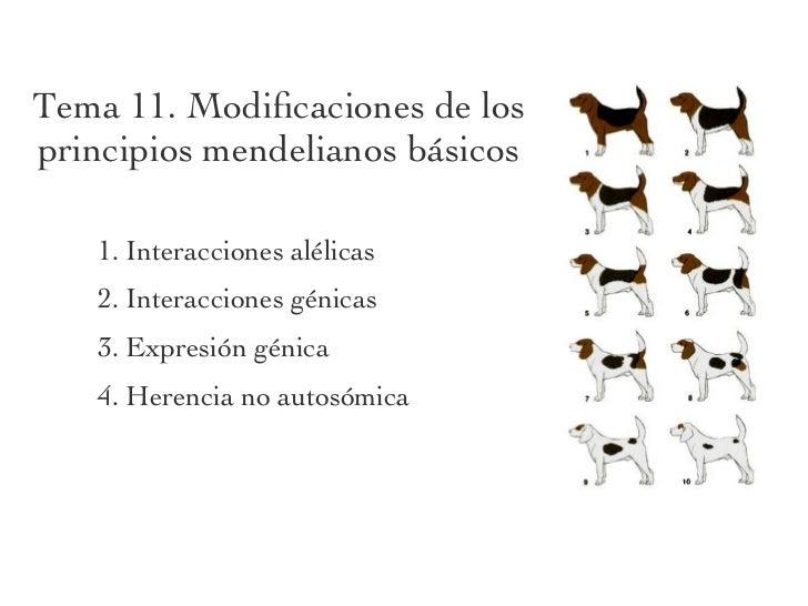 Tema 11. Modificaciones de losprincipios mendelianos básicos   1. Interacciones alélicas   2. Interacciones génicas   3. Ex...