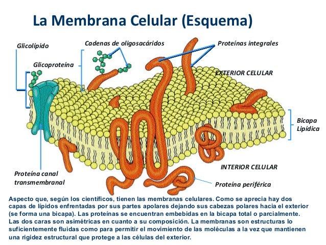 Tema 1 introducci n a la c lula eucariota for Pared y membrana celular