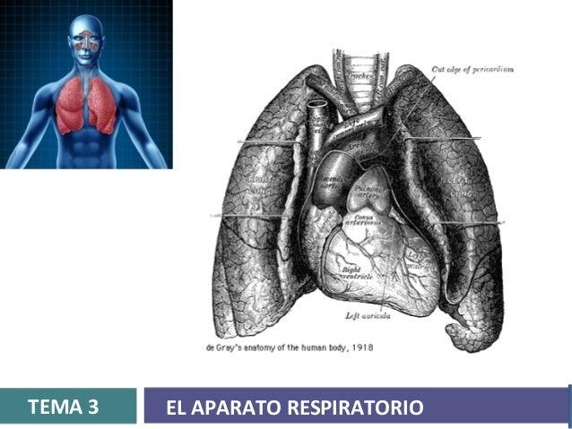 TEMA 3   EL APARATO RESPIRATORIO