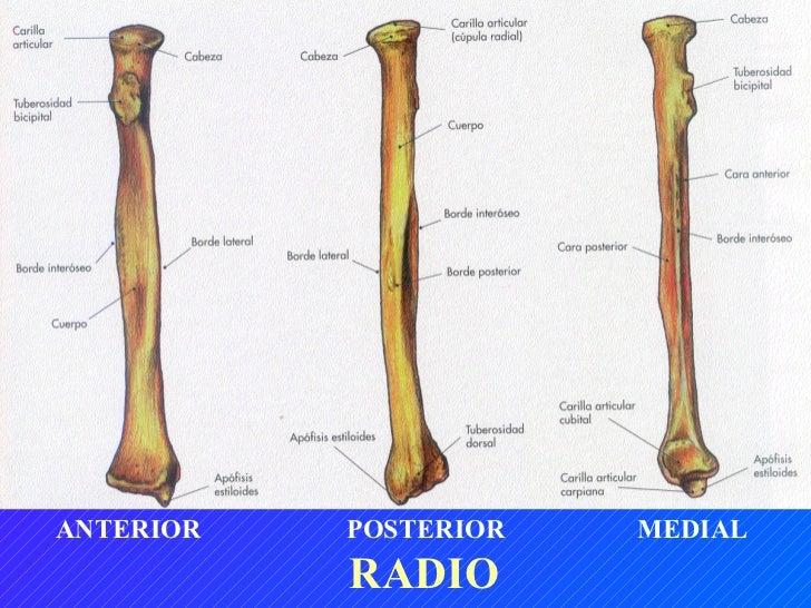 Fantástico Anatomía Hueso Radio Adorno - Anatomía de Las Imágenesdel ...