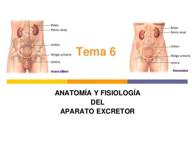Tema 6 ANATOMÍA Y FISIOLOGÍA DEL APARATO EXCRETOR