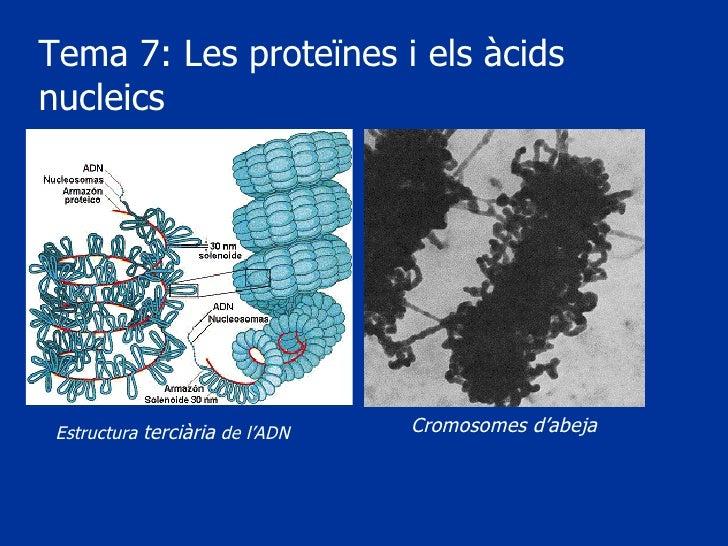 Tema 7: Les proteïnes i els àcids nucleics Estructura  terciària  de l'ADN Cromosomes d'abeja