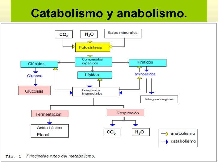 proceso anabolico del ciclo de krebs