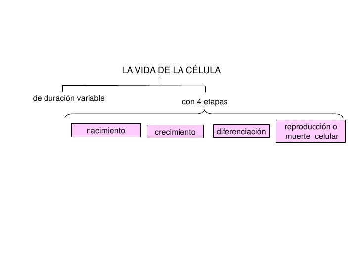 LA VIDA DE LA CÉLULAde duración variable                con 4 etapas              nacimiento                              ...
