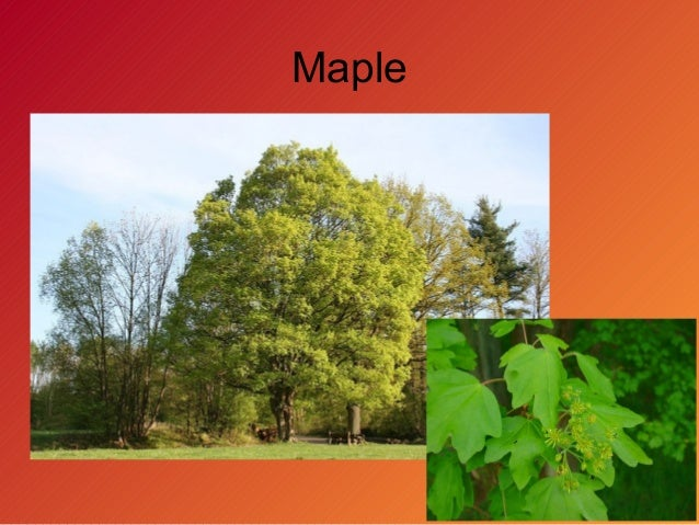 Temperate forest plants names - photo#22