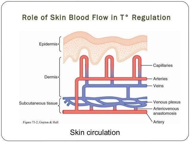 ANS & Blood Flow to Skin: Sympathetic Response | Student ...