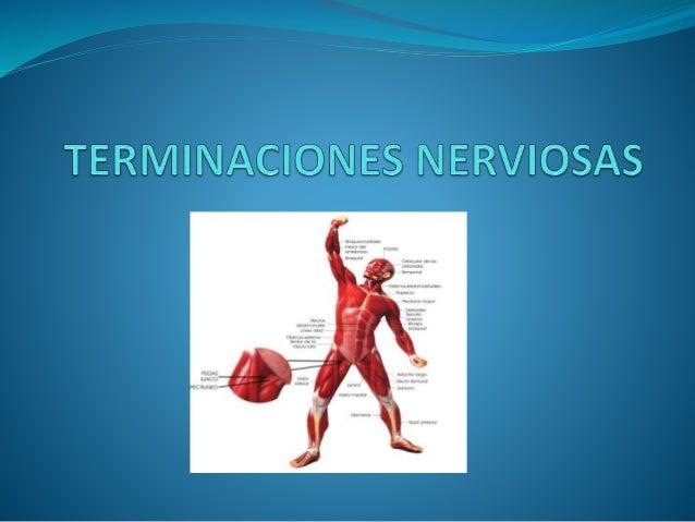 Las terminaciones nerviosas pueden ser de dos tipos:  Terminan en el propio vientre muscular  Aparato tendinoso de golgi