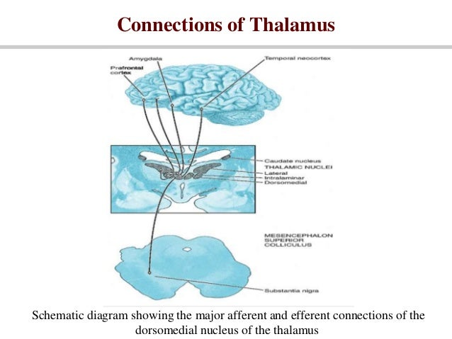 Thalamus 23387722 together with Thalamus 23387722 also  on thalamus 23387722