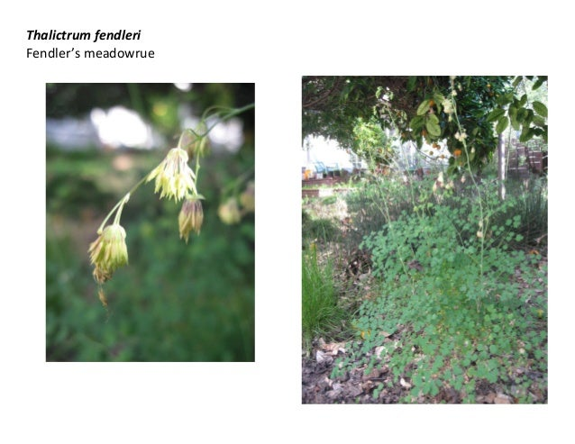 Thalictrum fendleri Fendler's meadowrue