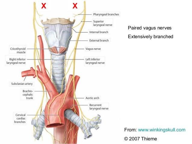 Anatomy vagus nerve