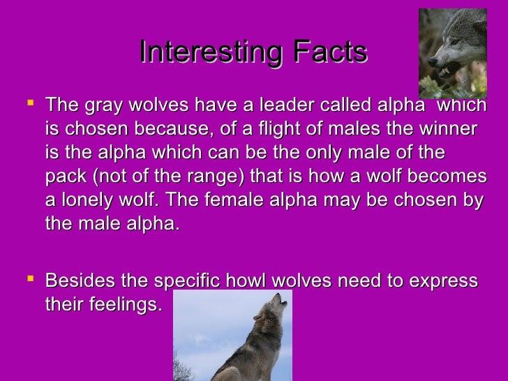 The amazing gray wolf