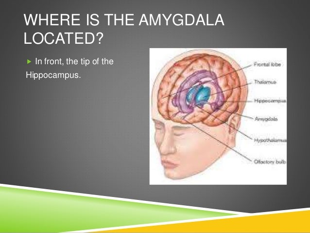the amygdala by keiffer policarpio and shannon youse where is the fuse box on 2010 mazda 3 where is the amygdala located