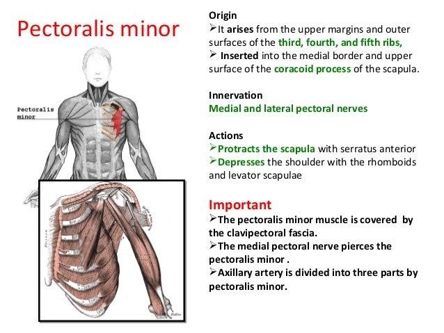 Pectoral region anatomy