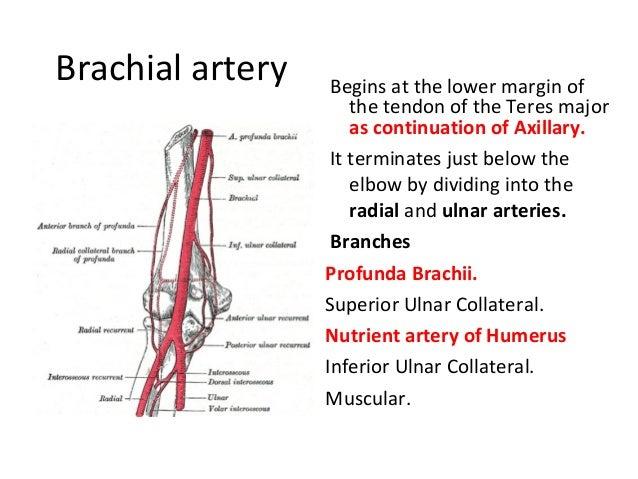 Brachial vein anatomy