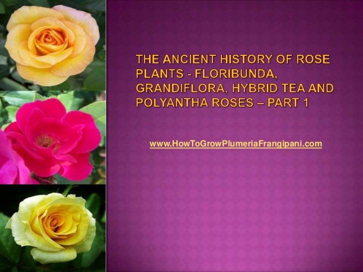 The Ancient History of Rose Plants - Floribunda, Grandiflora, Hybrid Tea and Polyantha Roses – Part 1