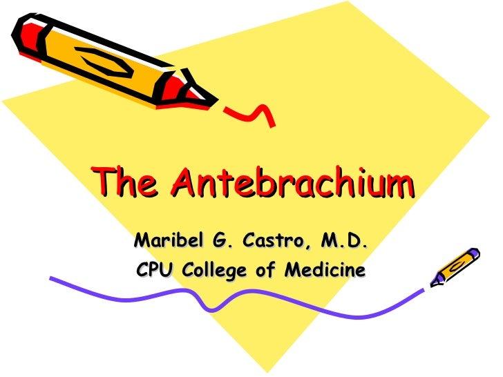 The antebrachium