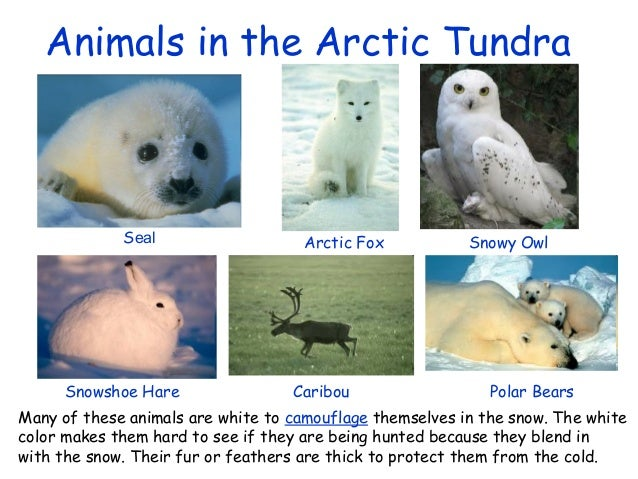 http://image.slidesharecdn.com/theartictundra-130404110357-phpapp01/95/the-artic-tundra-7-638.jpg?cb=1365073482