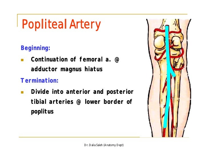 The Back Of The Thigh And Popliteal Fossa