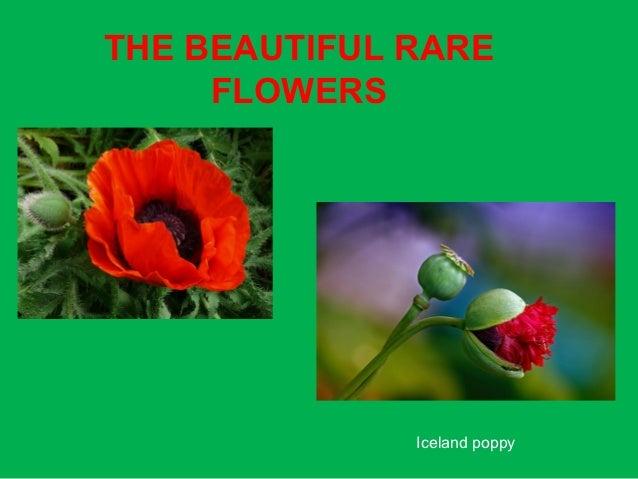 THE BEAUTIFUL RARE     FLOWERS              Iceland poppy
