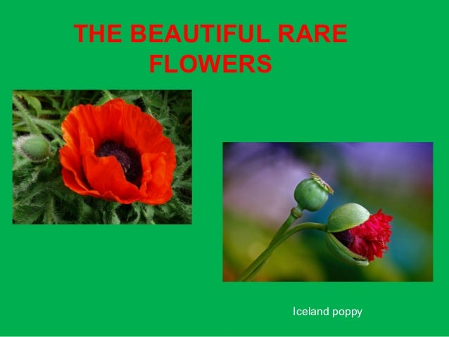 THE BEAUTIFUL RARE     FLOWERS              Iceland poppy