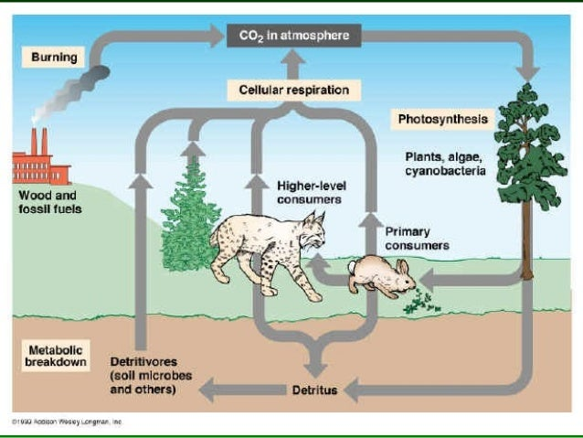 Plants & The Carbon Cycle• Plants take in carbon  dioxide and convert it to  sugar which can be stored  until used for ene...