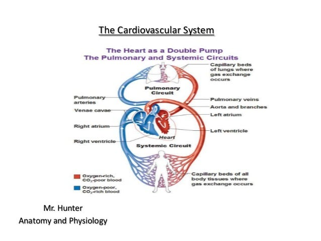 The Cardiovascular SystemMr. HunterAnatomy and Physiology