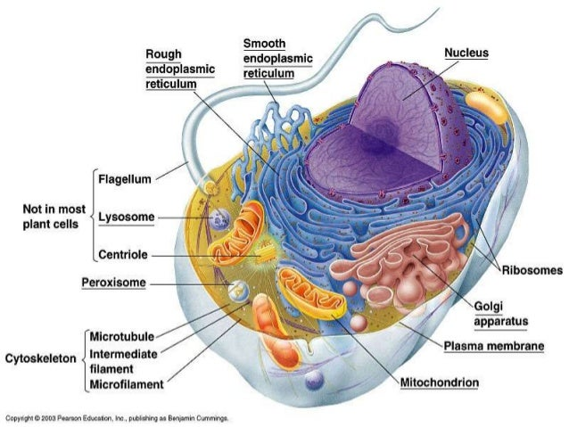 Power Up Energy And Mitochondria in addition The Cell 24898619 besides Lymphatics lab additionally Answer To Case 147 moreover Stock Photography Kidney Cross Section Image27154552. on cell diagram labeled