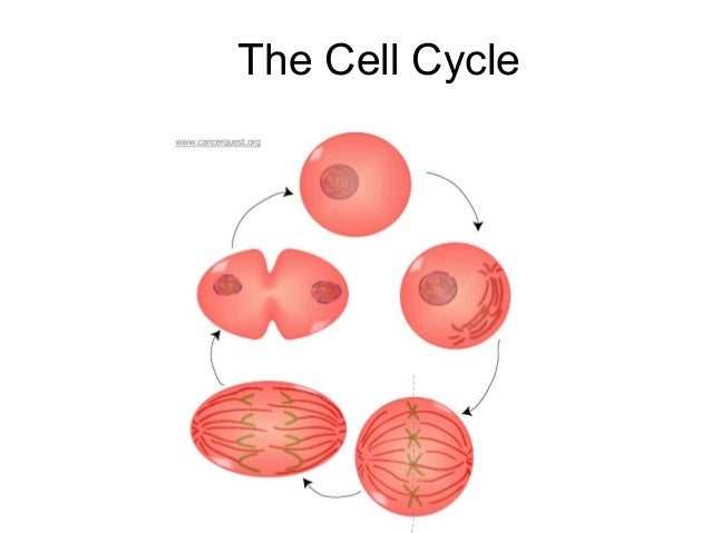 The cell cycle presentation teacher version 08