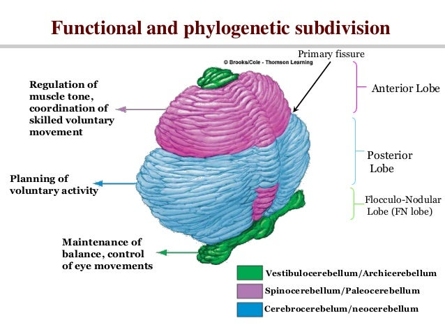 what is golgi body function in a cell