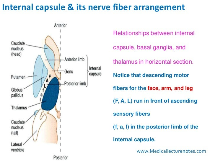 Internal Capsule and fibre arrangements Diagram
