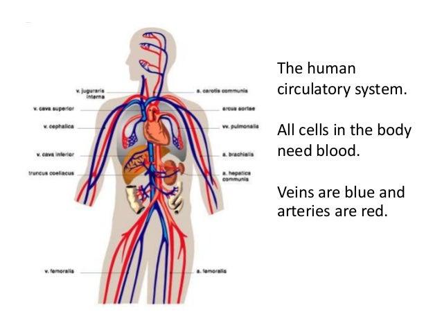 Simple Human Circulatory System Diagram Digitalspacefo