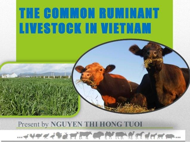 The common ruminant in vietnam
