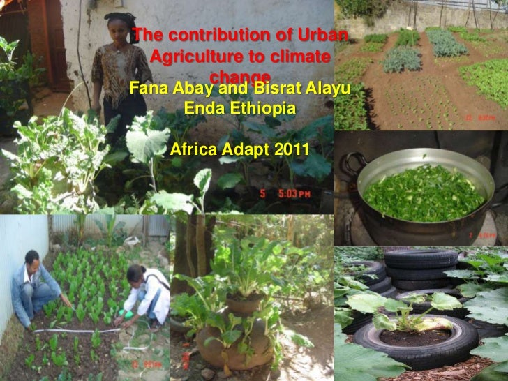 The contribution of Urban Agriculture to climate change <br />FanaAbay and BisratAlayu<br />Enda Ethiopia<br />Africa Adap...