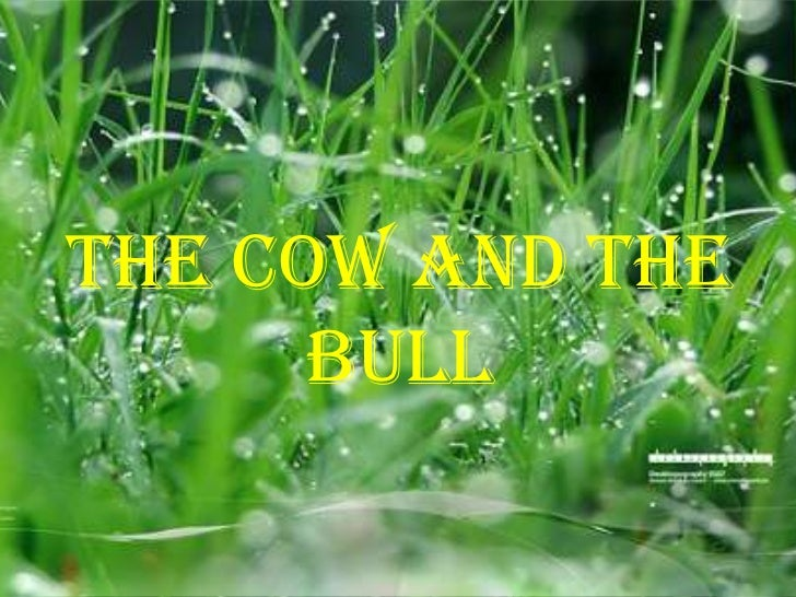 THE COW AND THE      BULL