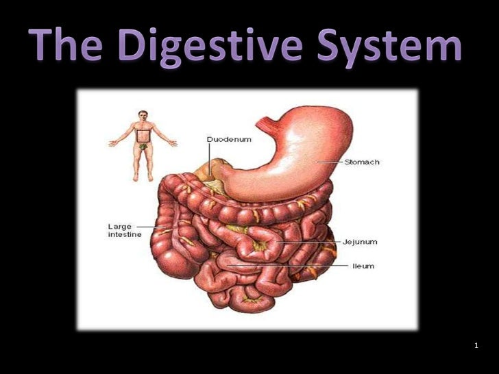 The Digestive System<br />1<br />