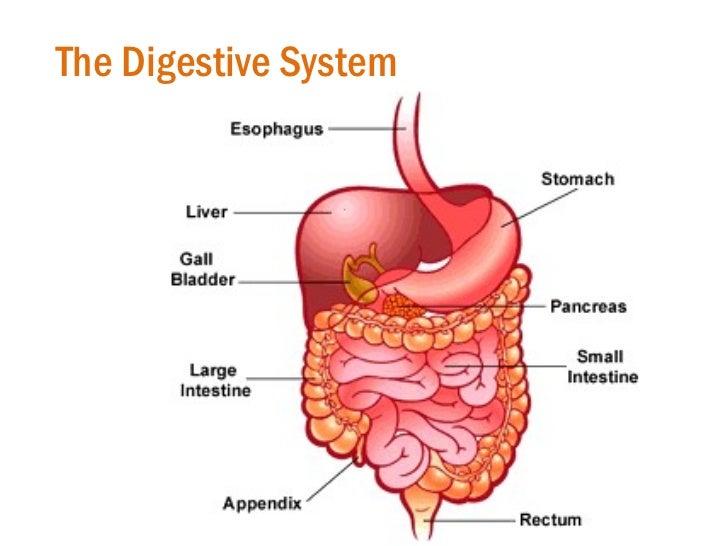 Images Digestive System