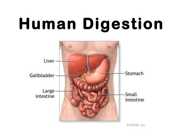 Human Digestion