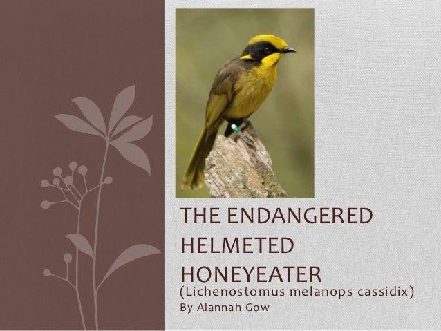 The endangered helmeted honeyeater
