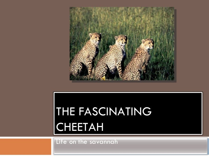 The fascinating cheetah