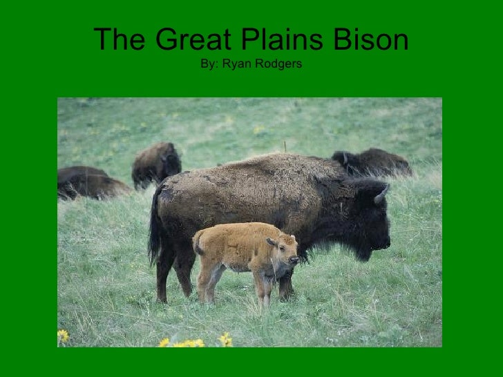 The Great Plains Bison By: Ryan Rodgers