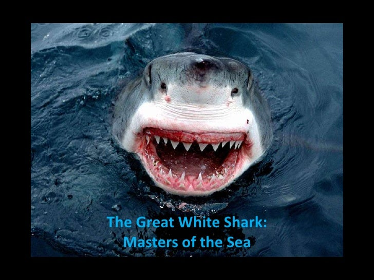 The great white shark masters of the sea