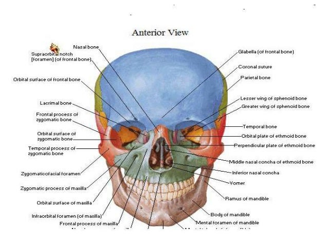 Head and neck anatomy lecture notes